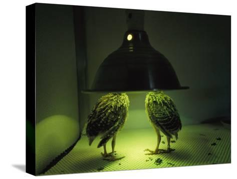 Juvenile Attwaters Greater Prairie-Chickens under a Heating Lamp-Joel Sartore-Stretched Canvas Print