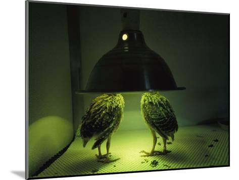 Juvenile Attwaters Greater Prairie-Chickens under a Heating Lamp-Joel Sartore-Mounted Photographic Print