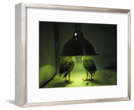 Juvenile Attwaters Greater Prairie-Chickens under a Heating Lamp-Joel Sartore-Framed Art Print
