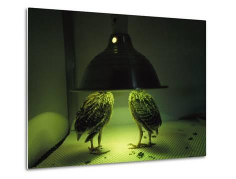 Juvenile Attwaters Greater Prairie-Chickens under a Heating Lamp-Joel Sartore-Metal Print