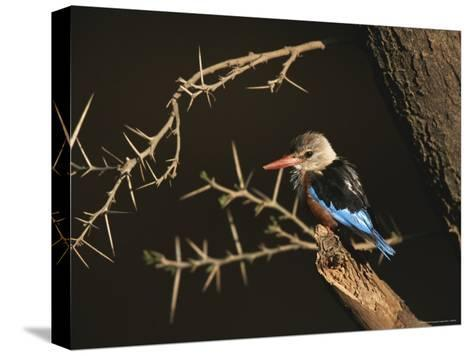 A Gray-Headed Kingfisher Perched on a Tree Branch-Roy Toft-Stretched Canvas Print