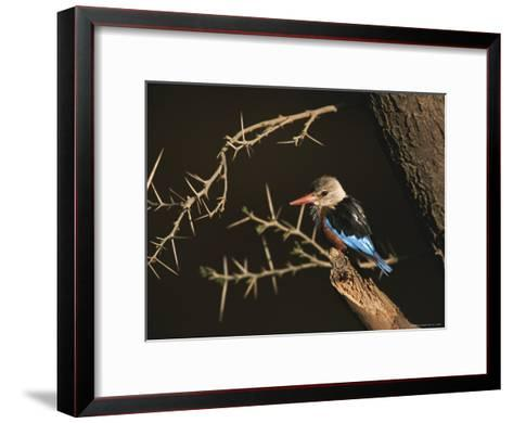 A Gray-Headed Kingfisher Perched on a Tree Branch-Roy Toft-Framed Art Print