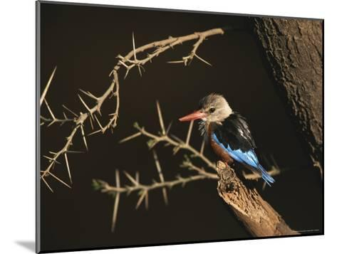 A Gray-Headed Kingfisher Perched on a Tree Branch-Roy Toft-Mounted Photographic Print