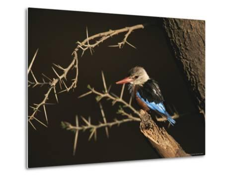 A Gray-Headed Kingfisher Perched on a Tree Branch-Roy Toft-Metal Print
