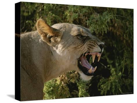 A Close View of a Snarling African Lioness-Roy Toft-Stretched Canvas Print