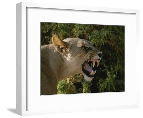 A Close View of a Snarling African Lioness-Roy Toft-Framed Art Print