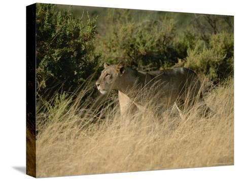 An African Lioness in a Landscape of Dry Grass and Shrubs-Roy Toft-Stretched Canvas Print