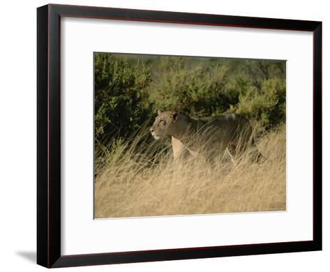 An African Lioness in a Landscape of Dry Grass and Shrubs-Roy Toft-Framed Art Print