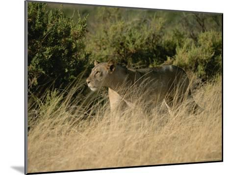 An African Lioness in a Landscape of Dry Grass and Shrubs-Roy Toft-Mounted Photographic Print