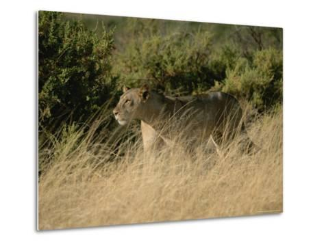 An African Lioness in a Landscape of Dry Grass and Shrubs-Roy Toft-Metal Print