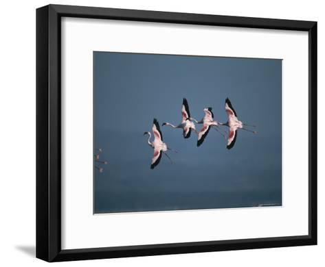 Greater Flamingos in Flight-Roy Toft-Framed Art Print