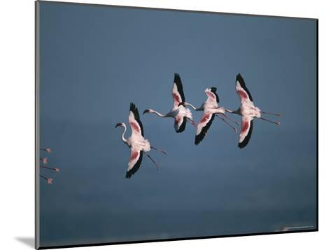 Greater Flamingos in Flight-Roy Toft-Mounted Photographic Print