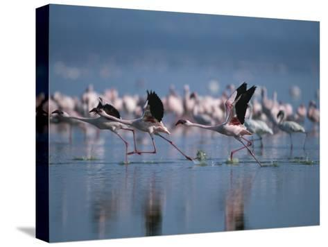 Greater Flamingos Run Through Shallow Water as They Take Flight-Roy Toft-Stretched Canvas Print