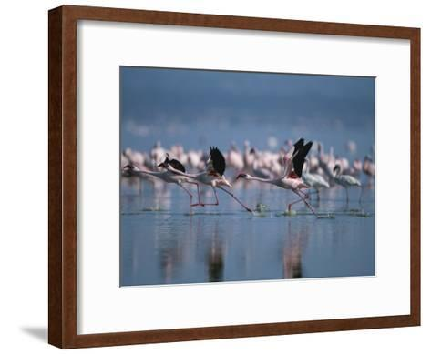 Greater Flamingos Run Through Shallow Water as They Take Flight-Roy Toft-Framed Art Print