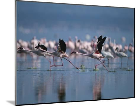 Greater Flamingos Run Through Shallow Water as They Take Flight-Roy Toft-Mounted Photographic Print