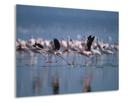 Greater Flamingos Run Through Shallow Water as They Take Flight-Roy Toft-Metal Print