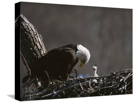 An American Bald Eagle and Chick-Roy Toft-Stretched Canvas Print
