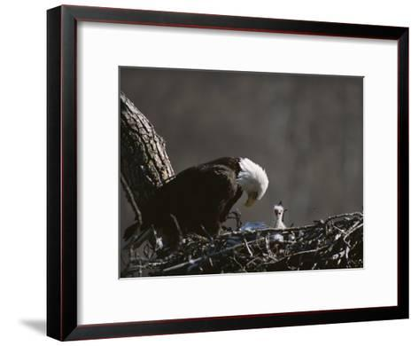An American Bald Eagle and Chick-Roy Toft-Framed Art Print