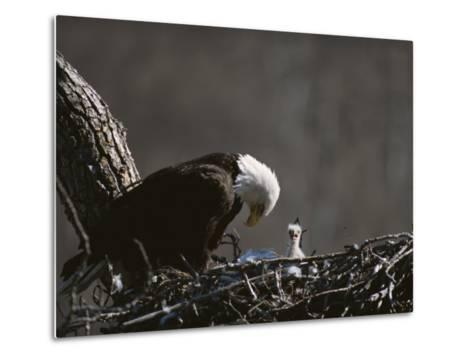 An American Bald Eagle and Chick-Roy Toft-Metal Print