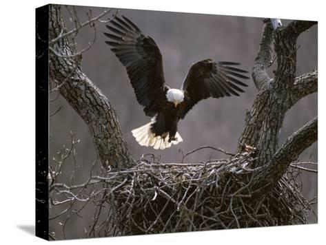 An American Bald Eagle Flies to its Nest-Roy Toft-Stretched Canvas Print