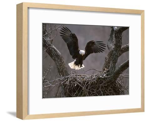An American Bald Eagle Flies to its Nest-Roy Toft-Framed Art Print