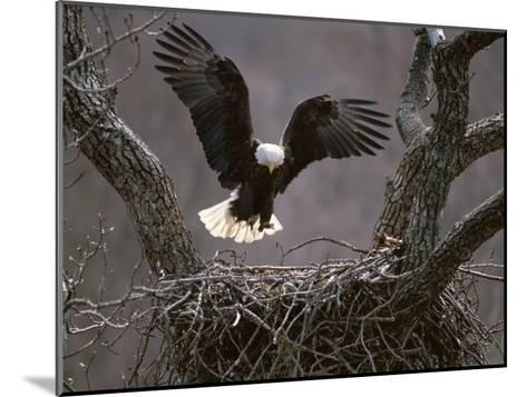 An American Bald Eagle Flies to its Nest-Roy Toft-Mounted Photographic Print