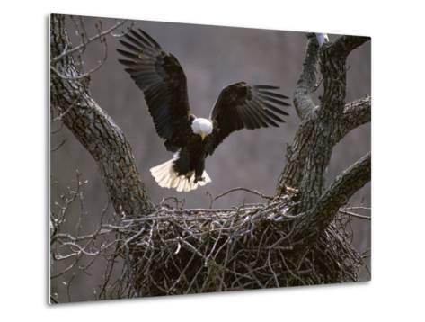 An American Bald Eagle Flies to its Nest-Roy Toft-Metal Print