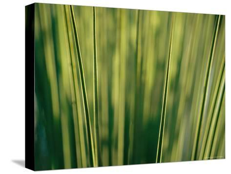 Yucca Leaves Backlit by Setting Sun-Jason Edwards-Stretched Canvas Print
