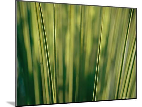 Yucca Leaves Backlit by Setting Sun-Jason Edwards-Mounted Photographic Print
