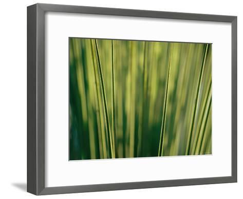 Yucca Leaves Backlit by Setting Sun-Jason Edwards-Framed Art Print