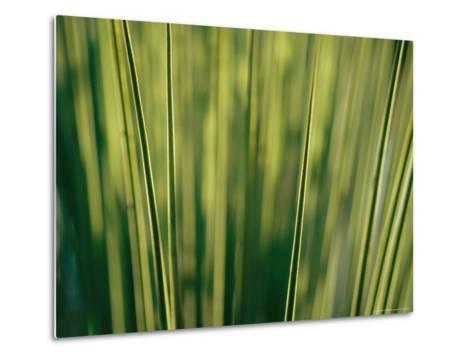 Yucca Leaves Backlit by Setting Sun-Jason Edwards-Metal Print
