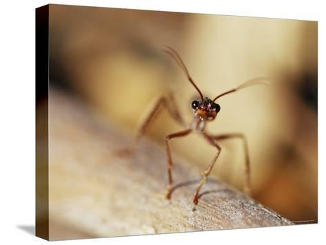 Aggressive Bull Ant in Defensive Posture with Jaws Agape-Jason Edwards-Stretched Canvas Print