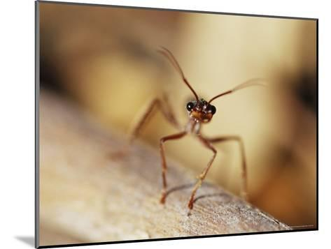 Aggressive Bull Ant in Defensive Posture with Jaws Agape-Jason Edwards-Mounted Photographic Print