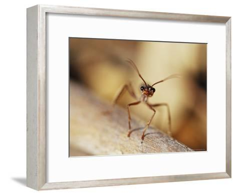 Aggressive Bull Ant in Defensive Posture with Jaws Agape-Jason Edwards-Framed Art Print