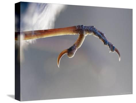 Close View of Fairy Wren Foot-Jason Edwards-Stretched Canvas Print