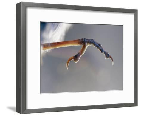 Close View of Fairy Wren Foot-Jason Edwards-Framed Art Print