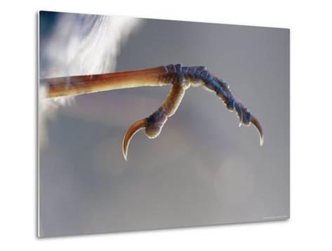 Close View of Fairy Wren Foot-Jason Edwards-Metal Print