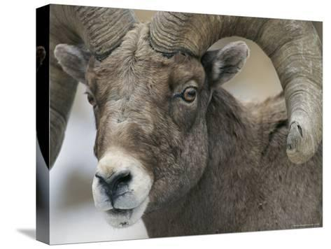 A Close View of a Male Bighorn Sheep-Tom Murphy-Stretched Canvas Print