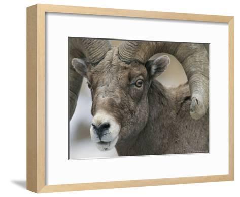 A Close View of a Male Bighorn Sheep-Tom Murphy-Framed Art Print