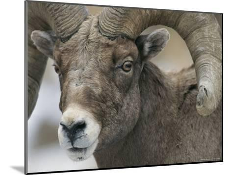A Close View of a Male Bighorn Sheep-Tom Murphy-Mounted Photographic Print