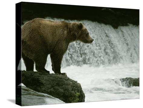 A Grizzly Bear Waits Patiently Near a Waterfall for Passing Fish-Tom Murphy-Stretched Canvas Print
