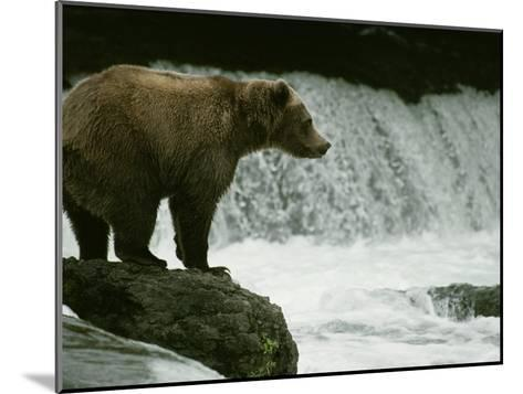 A Grizzly Bear Waits Patiently Near a Waterfall for Passing Fish-Tom Murphy-Mounted Photographic Print