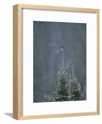 A Pygmy Owl Perched in the Top of an Evergreen Tree in a Snow Storm-Tom Murphy-Framed Art Print
