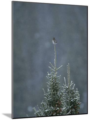A Pygmy Owl Perched in the Top of an Evergreen Tree in a Snow Storm-Tom Murphy-Mounted Photographic Print