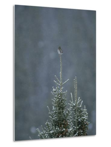 A Pygmy Owl Perched in the Top of an Evergreen Tree in a Snow Storm-Tom Murphy-Metal Print