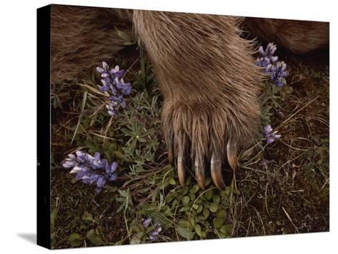 The Paw of a Tranquilized Grizzly Bear and Purple Wildflowers-Annie Griffiths-Stretched Canvas Print