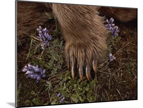 The Paw of a Tranquilized Grizzly Bear and Purple Wildflowers-Annie Griffiths-Mounted Photographic Print