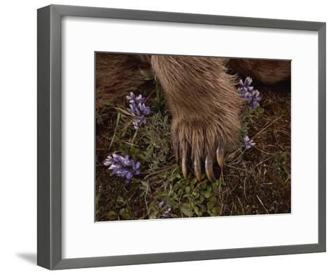 The Paw of a Tranquilized Grizzly Bear and Purple Wildflowers-Annie Griffiths-Framed Art Print