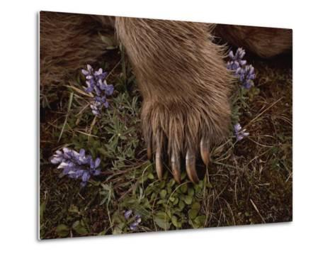 The Paw of a Tranquilized Grizzly Bear and Purple Wildflowers-Annie Griffiths-Metal Print