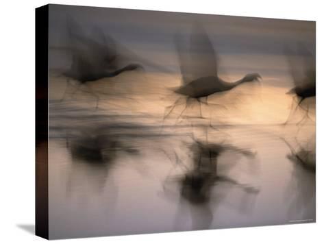 Panned View of Flamingos Preparing to Take Flight-Joel Sartore-Stretched Canvas Print